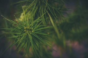 marijuana plant flowering stage growing outdoor. Medical marijuana with marijuana bud.