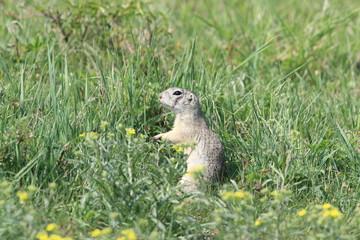 European ground squirrel (Spermophilus citellus) Rana- Czech Republic
