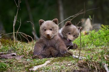 Wall Mural - Wild brown bear cub closeup