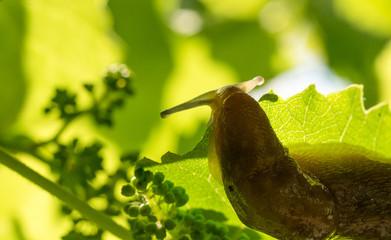Garden slug on a vine leaf in a sunny garden