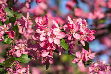 A blooming tree in the park. Flowers of cherries.