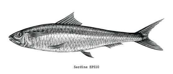 Sardine fish hand drawing vintage engraving illustration