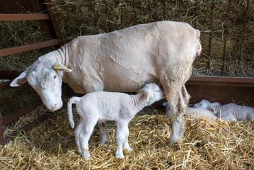 Lamb suckling sheep