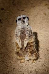 Standing African Meerkat (Suricata suricatta), looking and watching