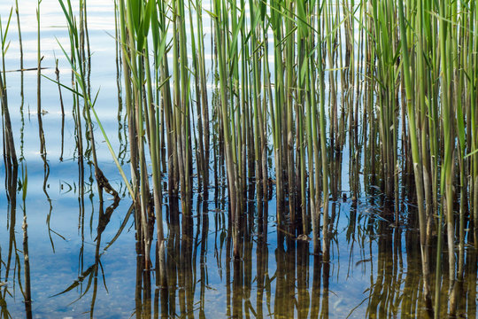 Reeds against the background of a close-up of the river