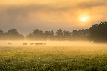 Cows in the foggy morning