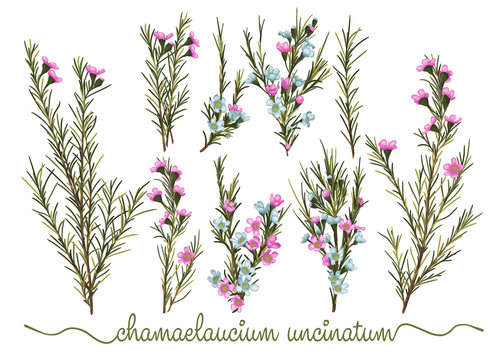 Set of botanic floral elements. Chamaelaucium (waxflower) collection with leaves and flowers, drawing watercolor. Isolated over white background