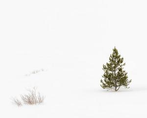 Lone Fir tree in snowy landscape