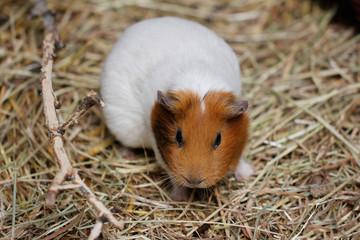White-brown domestic guinea pig (Cavia porcellus) cavy