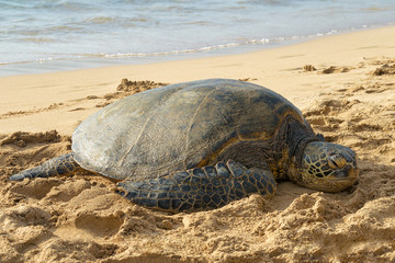 Hawaii, USA: Sea turtle sleeping at the beach