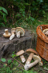 Groups of porcini mushrooms (Boletus edulis, cep, penny bun, porcino or king bolete) and wicker basket on natural wooden background..