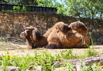 Camel in zoological garden
