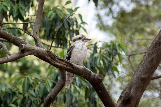 Kookaburra sitting in a tree in Sydney, Australia.