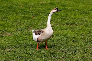 Domesticated chinese geese on the green meadow