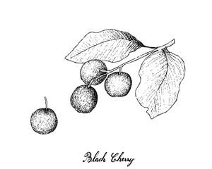 Hand Drawn of Black Cherries on White Background