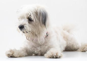 Maltese Canine Puppy Dog on White Background