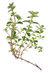 Spring branch of a forest spicy plant Thyme with roots