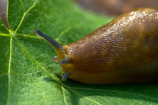 Giant slug on a green grapes leaf