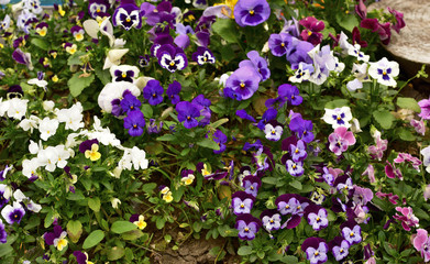 The tender multi-colored violets on the flowerbed - pansy.