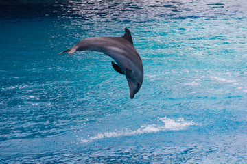Dolphin jumping-2