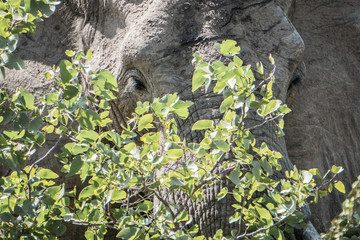 Tree Elephant