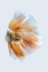 yellow white siamese fighting fish, betta fish isolated on gray background