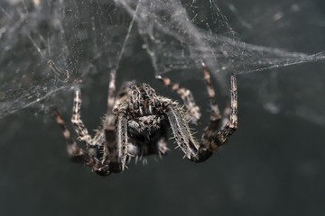 Spider (Araneus sp.) sitting upside down in its web. Scary spider with hairy legs in the spider web.