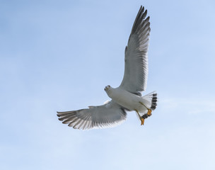 Flying seagull over blue sky.