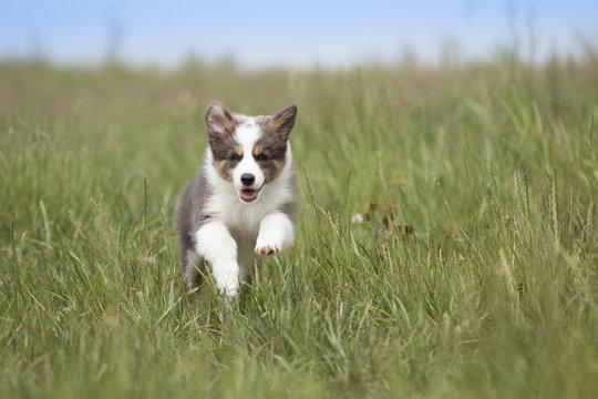 Border Collie Welpe läuft durch das Gras