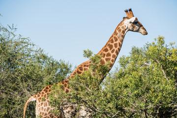 Giraffe in all its glory