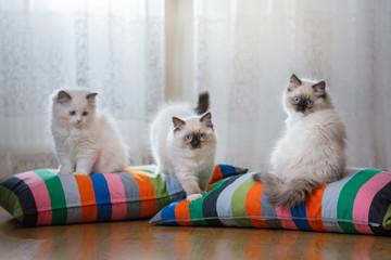 white Ragdoll kitten playing at home, inside room