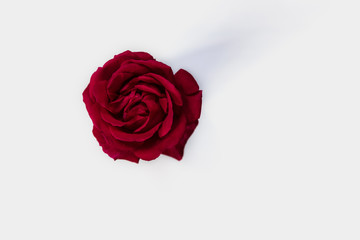 Beautiful red rose on white background. Top view