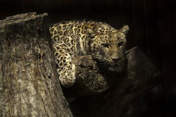 Leopard (Panthera pardus).