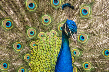 close up peacock in nature