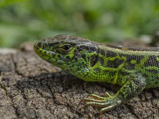 Lil Lizard