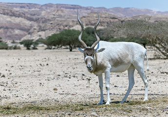 Curved horned antelope Addax (Addax nasomaculatus) was introduced from Sahara desert and well adopted in nature reserve near Eilat, Israel