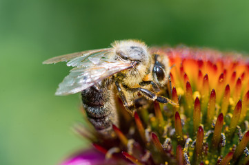 Closeup Honey Bee pollinating on the flower
