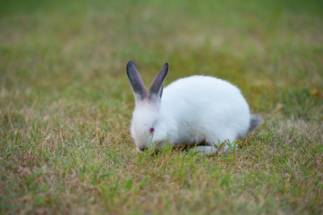 Cute little fluffy white rabbit with red eyes and black ears on green grass background