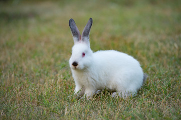tiny fluffy white rabbit with black nose on green grass background