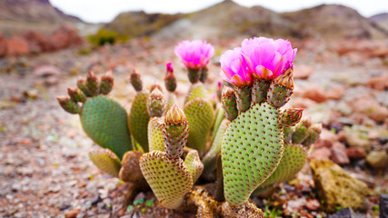 Photo sur Aluminium Cactus prickly pear cactus flower