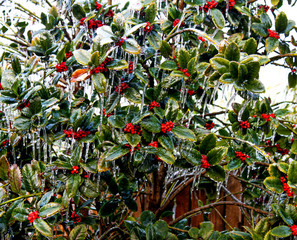 Ice encrusted holly and berries against a wood fence
