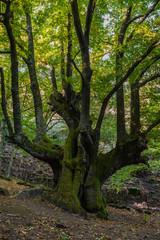 Centenary chestnut trees of Temblar, Caceres, Spain