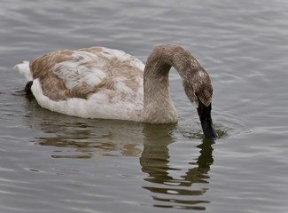Picture with a trumpeter swan drinking water
