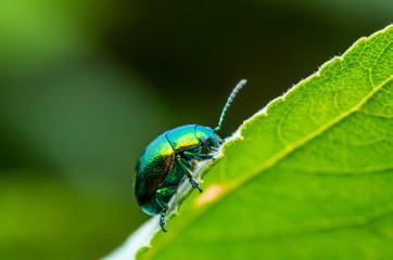 Chrysolina Coerulans Blue Mint Leaf Beetle Insect Crawling on Green Leaf Macro