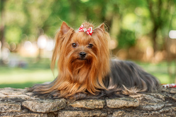 yorkshire terrier dog beautiful spring  portrait Wall mural