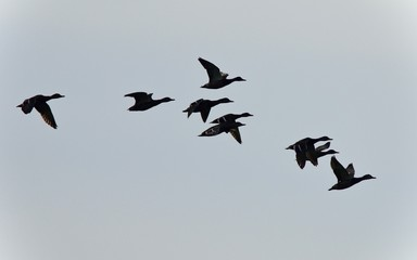 Picture with a group of ducks flying in the sky