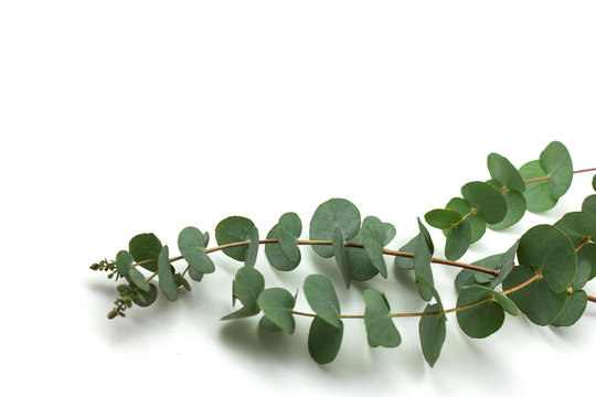 eucalyptus branches on white background isolated