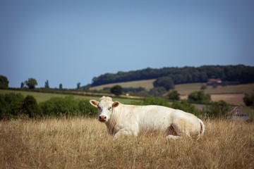 Theme is agriculture and the divorce of cattle. One white cow lies resting on the field in the background of the hills outside the city in a summer village in the Burgundy region in France