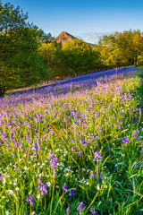 Roseberry Topping and Bluebells portrait / Newton Wood and Roseberry Topping, a distinctive hill in North Yorkshire, are popular with walkers and ramblers