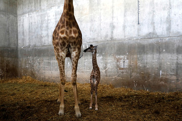 "Toy, a 10-day-old female giraffe named after Israeli singer Netta Barzilai's song ""Toy"", winner of the 2018 Eurovision Song Contest, is seen with its mother Laila in their pen at Jerusalem's Biblical Zoo"